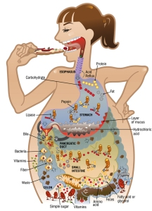digestion-illustration